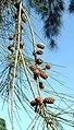 Casuarina cunninghamiana fruit01.jpg