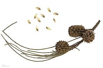 Casuarina equisetifolia - Casuarina equisetifolia - MHNT