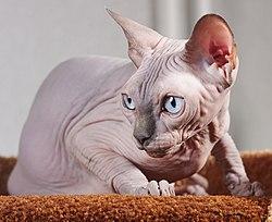 Cat Sphynx. img 025.jpg