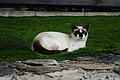 Cat in the grass of Hotel Rural Maipez 02.jpg