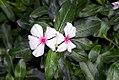 Catharanthus roseus 4zz.jpg