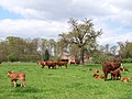 Cattle and Burtley Wood - geograph.org.uk - 162711.jpg