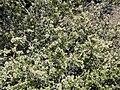 Ceanothus greggii 7.jpg