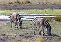 Cebra de Burchell (Equus quagga burchellii), parque nacional de Chobe, Botsuana, 2018-07-28, DD 41.jpg