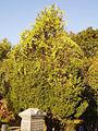 Celastrus orbiculatus 5501229.jpg