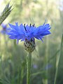 Centaurea cyanus-5-13-05.jpg