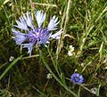 Centaurea cyanus Puszcza Zielonka Kicin, 9292.JPG