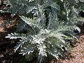 Centaurea pulcherrima 2c.JPG