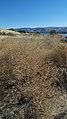Centaurea stoebe ssp. micranthos 2.jpg