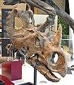 Centrosaurus apertus skull and jaws, Dinosaur Provincial Park, Alberta, Canada, Late Cretaceous - Royal Ontario Museum - DSC00078.JPG