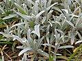 Cerastium tomentosum 125975065.jpg