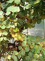 Ceratonia siliqua Habitus Bln0906b.JPG