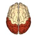 Cerebrum - parietal lobe - superior view.png
