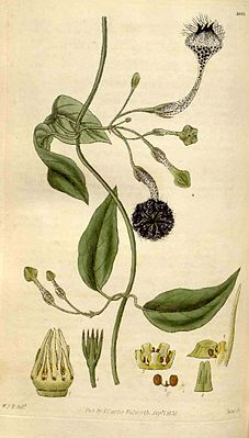 Ceropegia elegans (Illustration aus Curtis's Botanical Magazine, Band 57, Tafel 3015, 1830)
