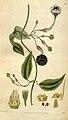 Ceropegia elegans Curtis Botanical Magazine Tab.3015.jpg