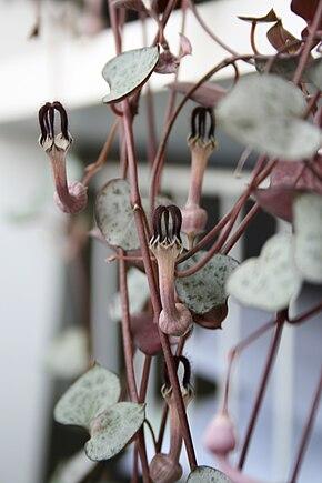 Descrição imagem Ceropegia_woodii_leaves_and_flowers.jpg.