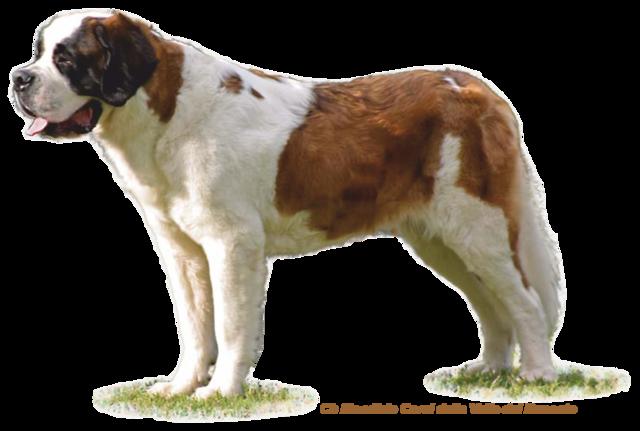 St Bernard Dog Puppies For Sale Uk