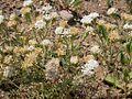 Chaenactis douglasii (3326809777).jpg