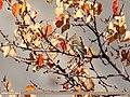 Chaffinch (Fringilla coelebs) (38911731675).jpg