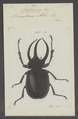 Chalcosoma - Print - Iconographia Zoologica - Special Collections University of Amsterdam - UBAINV0274 021 07 0048.tif