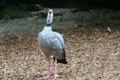 Chanua torquata - Zoo Schmieding4.JPG