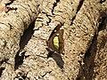 Charaxes athamas - Indian Nawab - Aralam Butterfly Survey at Kottiyoor, 2019 (1).jpg