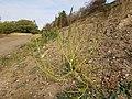 Chenopodium urbicum sl65.jpg