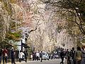 Cherry Blossom - panoramio - tsushima (3).jpg