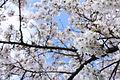 Cherry Blossoms (7086481647).jpg