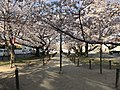 Cherry blossoms near Zasshonokuma Station 20190401-7.jpg
