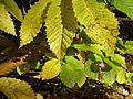 Chesnut leaves (2937651887).jpg