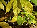 Chesnut leaves (2937651887).jpg