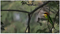 Chestnut-headed Bee-eater (Merops leschenaulti) by Dharani Prakash.jpg