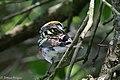 Chestnut-sided Warbler (male) Anahuac NWR - Woodlot TX 2018-04-25 12-35-21 (42024364502).jpg