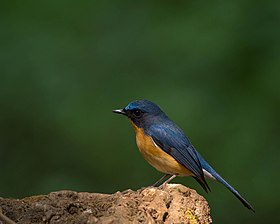 Chinese Blue Flycatcher.jpg