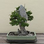 Chinese Elm clinging to Ying Tak Stone, 1961-2007.jpg