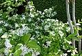 Chinese Fringetree -- Chionanthus retusus.jpg