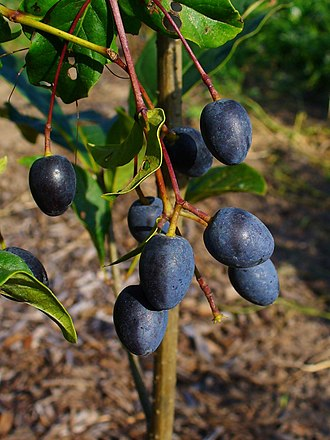 Chionanthus virginicus - Fruits