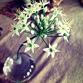 Chive Flowers in a vase.jpg