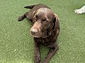 Chocolate labrador at great neck doggie daycare.jpg