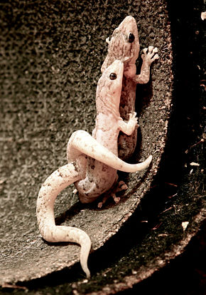 Description de l'image Christinus marmoratus (Marbled Gecko) edit.jpg.