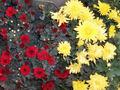 ChrysanthemumMorifolium.jpg