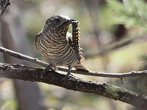 Shining bronze cuckoo - Young shining bronze-cuckoo with caterpillar, Mulligans Flat Nature Reserve, Canberra