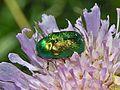 Chrysomelidae - Cryptocephalus sericeus-1.JPG