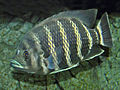 Cichlidae - Heterotilapia buttikoferi.JPG