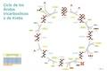 Ciclo de los ácidos tricarboxílicos.pdf
