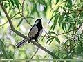 Cinereous Tit (Parus cinereus) (35034929021).jpg