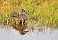 Cinnamon Teal on Seedskadee National Wildlife Refuge (26455603034).jpg
