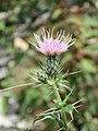 Cirsium arvense - Creeping Thistle on way from Gangria to Govindghat at Valley of Flowers National Park - during LGFC - VOF 2019 (8).jpg