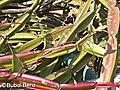 Cissus quadrangularis - Bubai Bera 01.jpg